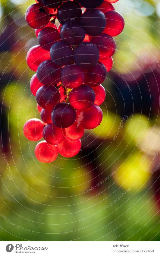 Feuerfroschlaich Pflanze rot leuchten Wein Nutzpflanze Weinlese Weinberg Weinbau Weintrauben Rotwein leuchtende Farben Spätburgunder
