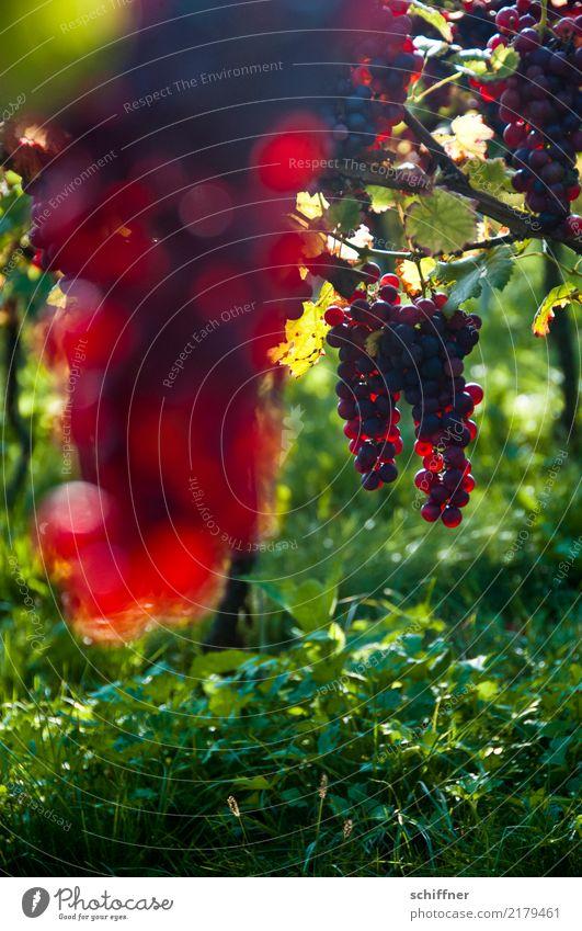 Burgunder am Stock IV Pflanze Nutzpflanze grün rot Wein Rotwein Weinberg Weinbau Weintrauben Weinlese Weingut Ernte Herbst Weinblatt Landwirtschaft
