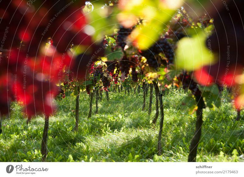 Bacchus' Traum Pflanze Schönes Wetter Nutzpflanze Feld saftig grün rot Wein Weintrauben Weinberg Weinbau Weingut Herbst herbstlich Ernte Landwirtschaft