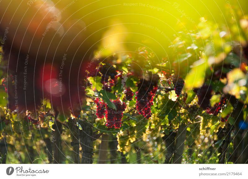 Im Traubenhimmel Pflanze grün rot Herbst Schönes Wetter Wein Nutzpflanze Weinlese Weinberg Weintrauben Weinbau Rotwein Weinblatt Weingut