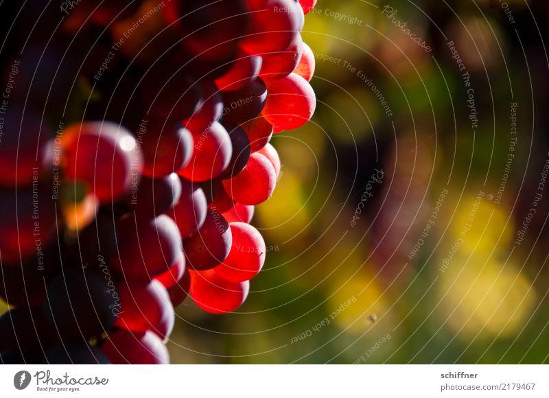 Trauben für die | Festplatte Pflanze Herbst Nutzpflanze süß Sonnenstrahlen lecker Weintrauben Traubensaft Weinberg reif Reifezeit Erntedankfest Weinbau Weinlese