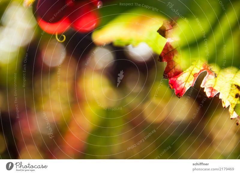 Ein bisschen Sonne heute Pflanze grün rot Blatt gelb Herbst Wein Ernte Weinlese Blattgrün Nutzpflanze Weinberg Weintrauben Weinbau Rotwein
