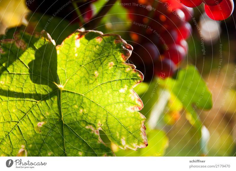 Neandertal im Weinblatt Pflanze Nutzpflanze grün rot Weintrauben Weinberg Weinbau Weingut Blatt Blattgrün Blattfaser Schattenspiel Außenaufnahme Menschenleer