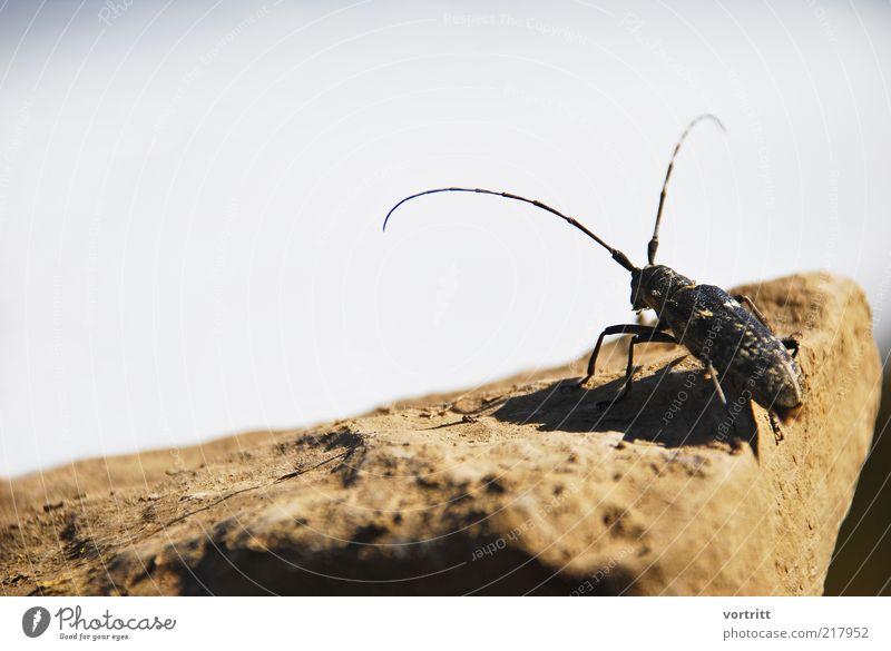 Moschusbock Natur schwarz Tier Stein Beine braun sitzen Insekt lang Wildtier Käfer Fühler