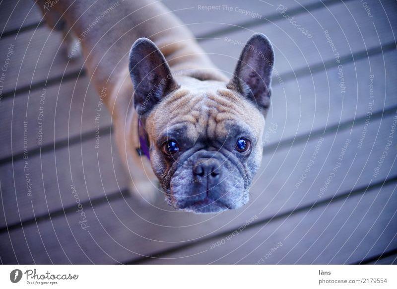 bin ganz Ohr Tier Hund 1 beobachten hören stehen Coolness Kraft Mut achtsam Wachsamkeit standhaft Neugier Interesse Misstrauen Erwartung Blick nach oben