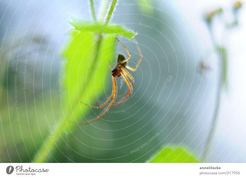 zartes Spinnenbein Natur grün Pflanze Sommer Blatt Tier Frühling hell Angst Umwelt sitzen frisch Insekt beobachten Stengel hängen