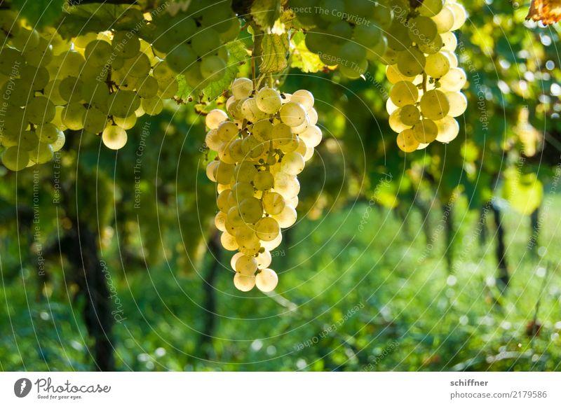 Mund auf! Pflanze Herbst Nutzpflanze gelb gold grün Wein Weinberg Weinbau Weintrauben Weinlese Weingut Winzer Weißwein Außenaufnahme Menschenleer
