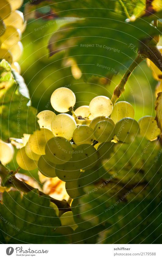 Weißburgunder am Stock I Pflanze grün gelb Herbst Wein herbstlich Nutzpflanze Weinlese Weinberg Weinbau Weintrauben Weinblatt Weißwein