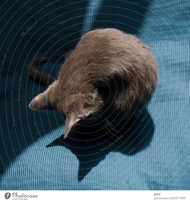katzenwäsche Katze blau Tier ruhig Erholung grau Tierjunges glänzend elegant sitzen ästhetisch Sauberkeit weich Ohr Fell Gelassenheit