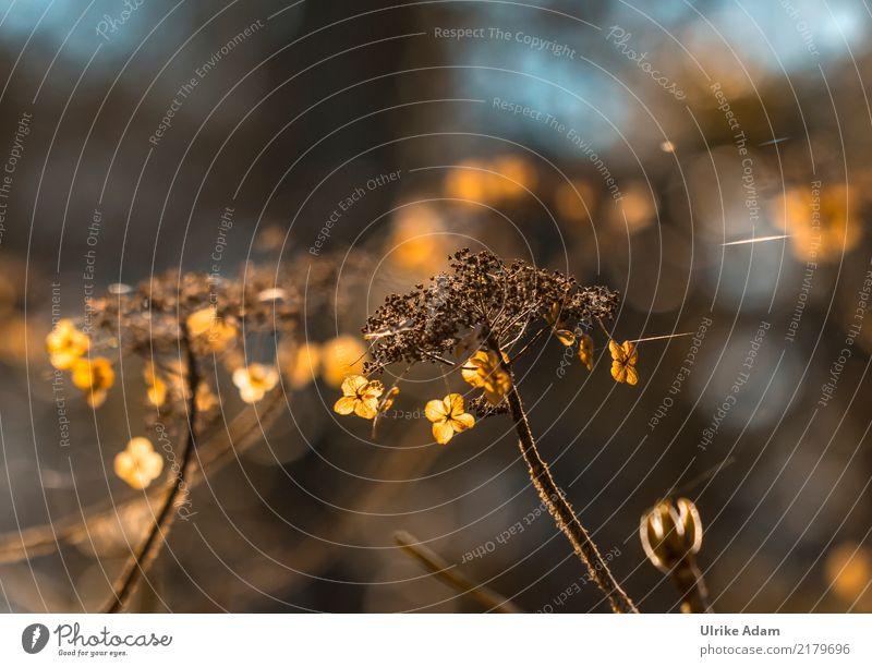 Verblühte Hortensien Natur Pflanze Blume Blatt ruhig Wärme Blüte Herbst Traurigkeit Innenarchitektur Garten braun Park glänzend Dekoration & Verzierung gold
