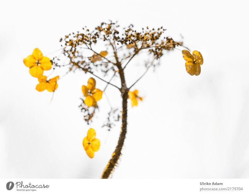 Verblühte Hortensien im Gegenlicht Natur Pflanze schön Blume Erholung ruhig Wärme Blüte Herbst Traurigkeit Garten braun Design Zufriedenheit leuchten glänzend