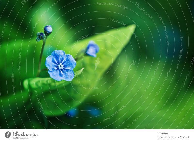 """""""blaublühtig"""" Natur Frühling Sommer Pflanze Blatt Blüte Vergißmeinnicht schön Gefühle Farbfoto Außenaufnahme Nahaufnahme Tag Textfreiraum rechts"""