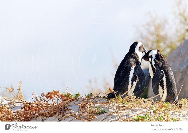 liebhaben Ferien & Urlaub & Reisen Tourismus Ausflug Abenteuer Ferne Freiheit Natur Himmel Strand Meer Wildtier Vogel Flügel Pinguin Brillenpinguin 2 Tier