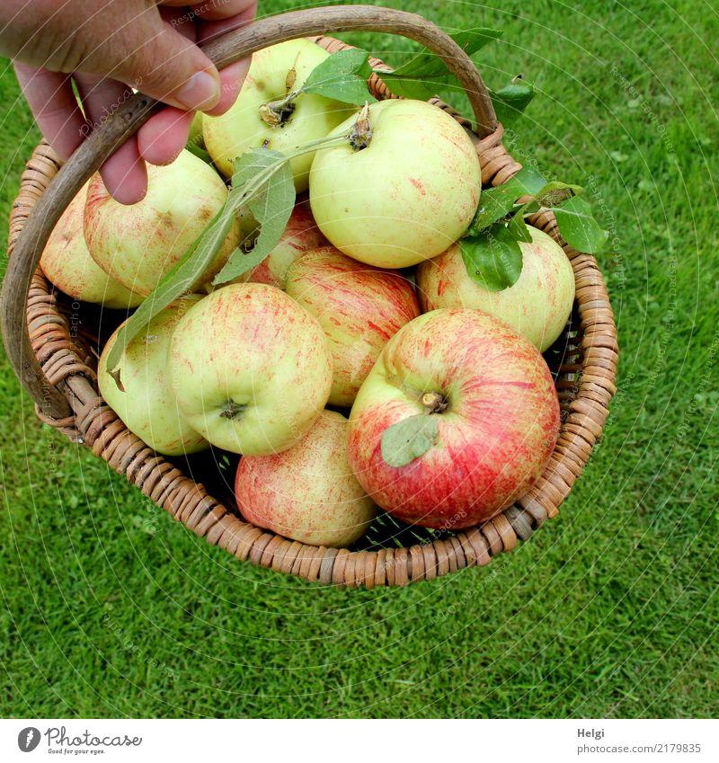 gute Ernte ... Lebensmittel Frucht Apfel Bioprodukte Vegetarische Ernährung Hand Finger Blatt Garten Wiese Korb festhalten liegen authentisch frisch Gesundheit
