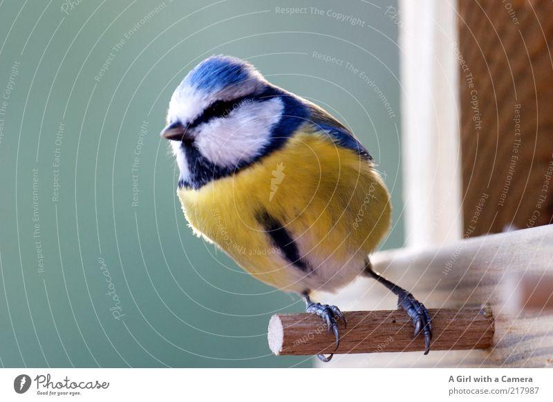 a tit Wildtier Vogel Meisen 1 Tier Holz Blick klein natürlich niedlich blau gelb Freiheit festhalten Tiergesicht Tierporträt Ganzkörperaufnahme gefiedert