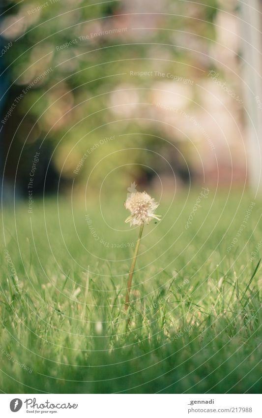 Im Mittelpunkt stehen Natur alt grün Pflanze Blume Blatt Einsamkeit Umwelt Wiese Herbst Gras Blüte Erde Kraft ästhetisch einzigartig