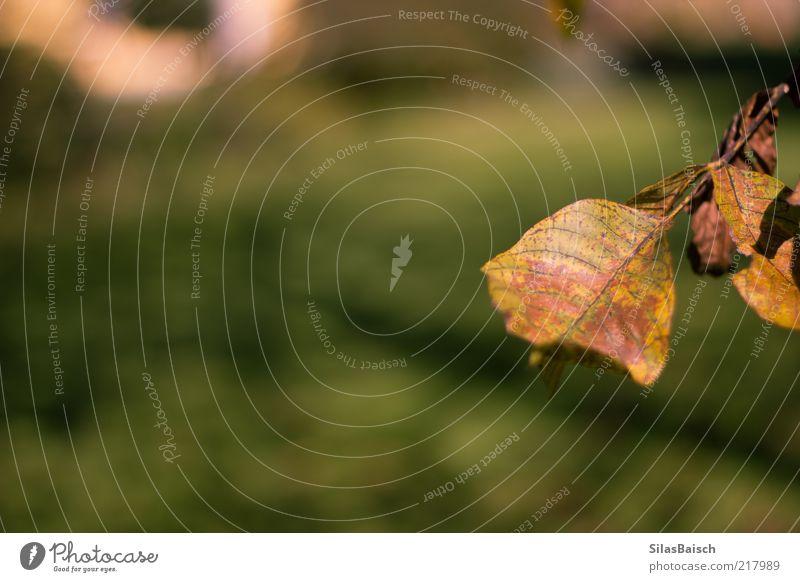 Der Herbst ist da Natur Landschaft Blatt Grünpflanze Wiese braun Herbstlaub herbstlich kalt Farbfoto Außenaufnahme Textfreiraum links Starke Tiefenschärfe