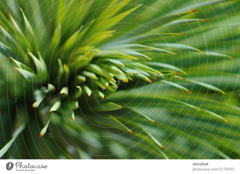 Pflanze mit roten Spitzen Garten Umwelt Natur Sträucher Kaktus Grünpflanze maritim stachelig grün Farbfoto Außenaufnahme Unschärfe Schwache Tiefenschärfe