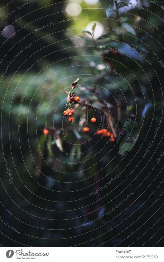 Herbstleuchten Natur Pflanze Sträucher Blatt Wildpflanze Beerensträucher Garten Park dunkel klein nah natürlich rund viele wild braun grün orange Kraft Leben