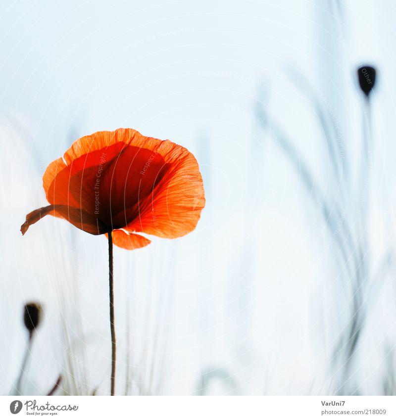 fragility Natur schön Blume blau Pflanze rot Sommer ruhig Farbe Erholung träumen Stimmung orange elegant Umwelt natürlich