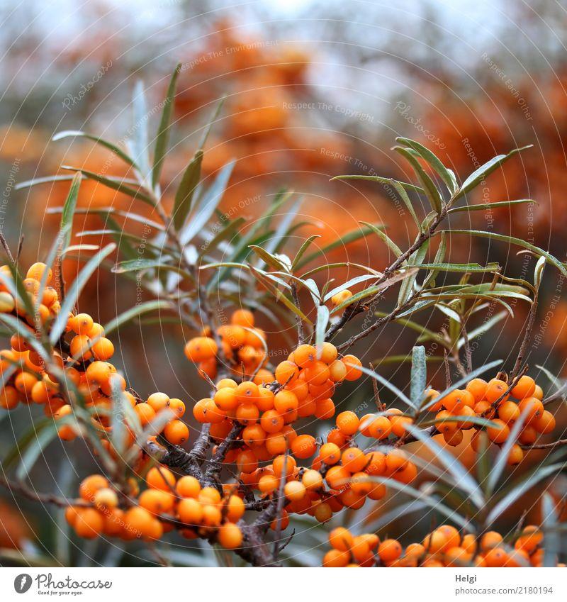 Sanddorn Natur Pflanze grün Blatt Umwelt Herbst Gesundheit klein grau orange Wachstum authentisch Sträucher Insel rund Zweig