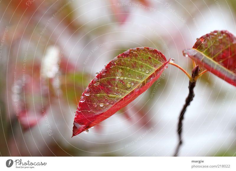 Herbststreben Natur Wassertropfen Eis Frost Pflanze Blatt Blüte Grünpflanze Winter Nahaufnahme Blütenknospen Baumschössling rot Ast Trieb Wachstum grün Stimmung