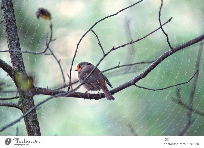 Piepmätzchen Natur Tier Herbst Wald Vogel Tiergesicht Flügel 1 kalt natürlich blau mehrfarbig grün Spatz Farbfoto Gedeckte Farben Außenaufnahme Nahaufnahme