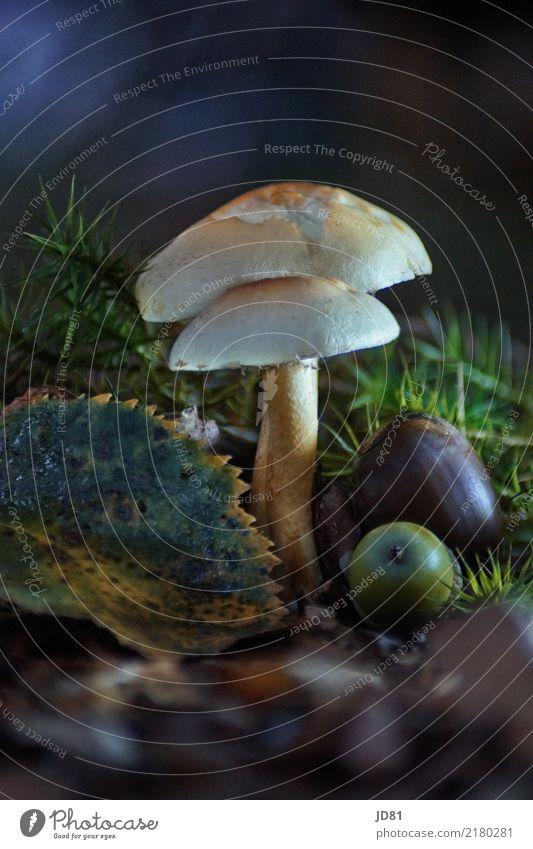 Pilz im dunklen Wald Umwelt Natur Tier Erde Pflanze Moos Blatt ästhetisch Vergänglichkeit Pilzhut Pilzsucher Herbst Farbfoto Gedeckte Farben mehrfarbig