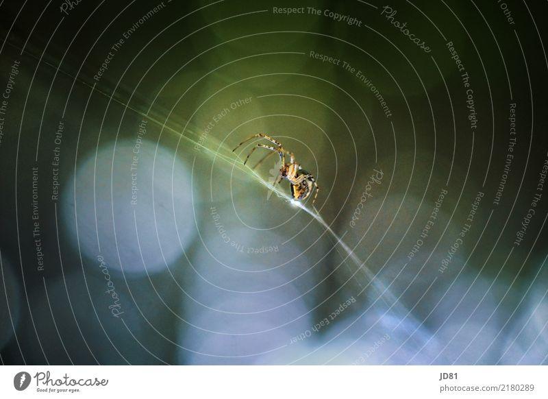 Itzibitzi Spider blau Stadt grün Tier dunkel schwarz gelb Bewegung außergewöhnlich Design wild ästhetisch authentisch Abenteuer rein sportlich