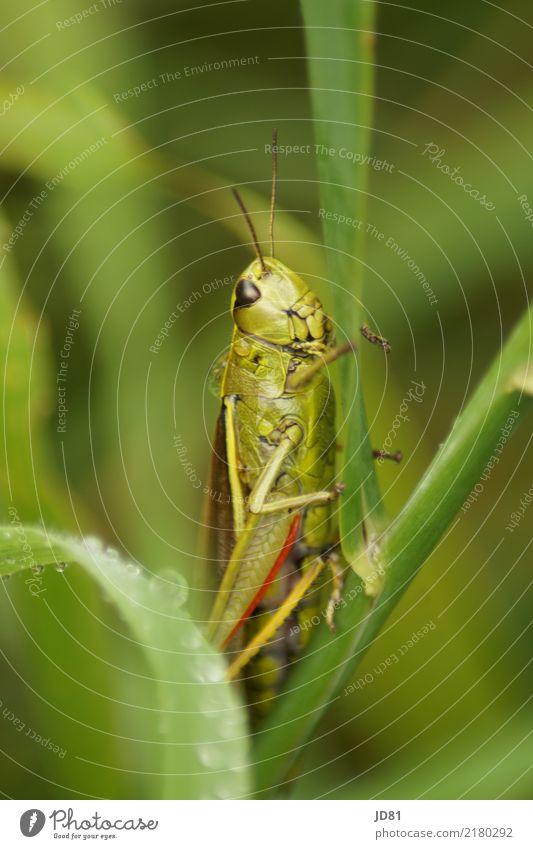 Nasse Heuschrecke Pflanze grün rot Tier natürlich springen Regen Wetter Wassertropfen warten niedlich beobachten Neugier Tiergesicht Grünpflanze