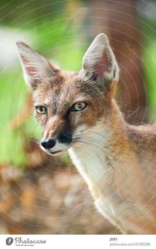 Fuchs du hast die Gans gestohlen... Tier Wildtier Tiergesicht Fell Zoo 1 Neugier niedlich positiv wild braun mehrfarbig grün Tapferkeit Mut Sicherheit Tierliebe