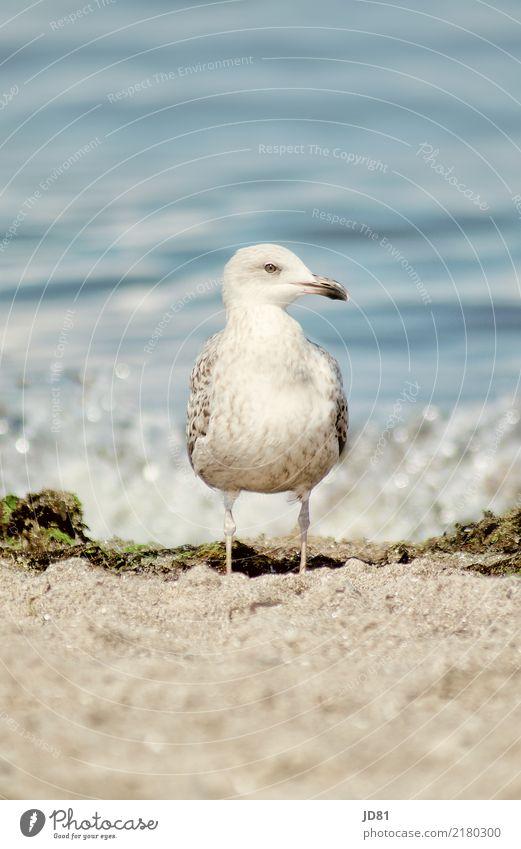 Doof gucken kann ich Umwelt Natur Landschaft Sand Wasser Strand Nordsee Meer Wildtier 1 Tier Schwimmen & Baden füttern genießen ästhetisch authentisch