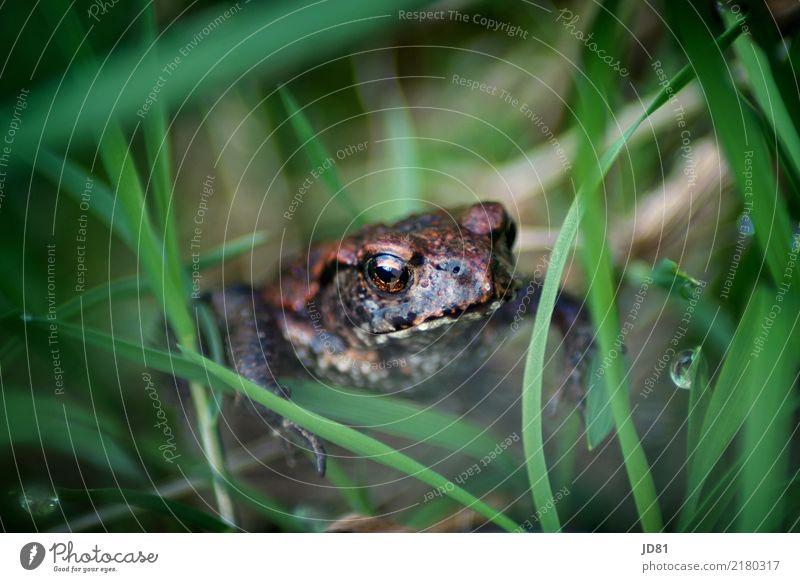 Küss ihn, dann wird er ein Prinz Natur Tier Wassertropfen Frühling Sommer Pflanze Gras Garten Wiese Frosch Tiergesicht 1 Tierjunges hocken sitzen warten einfach