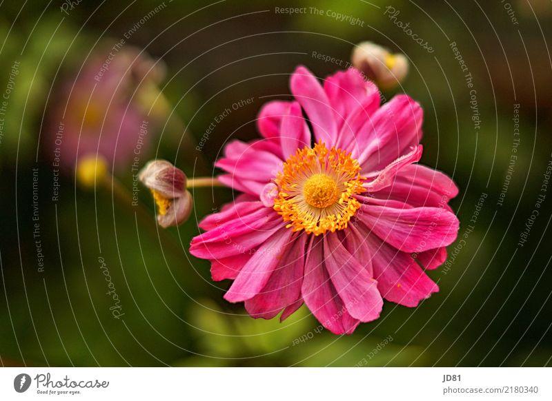 Pink Sommer Pflanze Blume Blüte Grünpflanze Duft Freundlichkeit Fröhlichkeit frisch Gesundheit natürlich gelb grün rosa Anemonen Farbfoto mehrfarbig