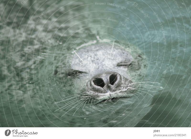 Robbi taucht blau Wasser Erholung Tier schwarz natürlich Bewegung Glück grau Schwimmen & Baden Zufriedenheit Wildtier Kraft authentisch nass niedlich
