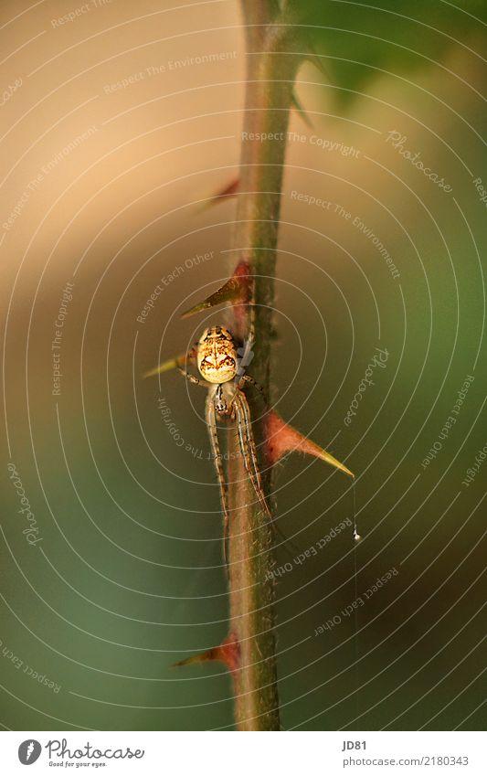 Itzibitzi Spider Natur Tier Spinne 1 authentisch elegant nah nachhaltig natürlich braun mehrfarbig grün Farbfoto Außenaufnahme Nahaufnahme Detailaufnahme