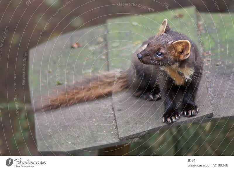 Soooo süss....der kleine Marder Tier Wildtier Tiergesicht Fell Krallen Pfote Zoo 1 beobachten springen niedlich Stadt braun mehrfarbig grün Farbfoto