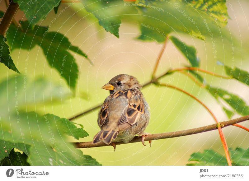 Piepmätzchen auf Schau Natur Landschaft Tier Frühling Sommer Schönes Wetter Baum Garten Park Wald Vogel Tiergesicht Flügel Spatz 1 Blick warten Idylle