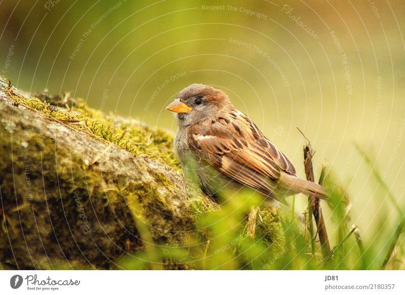 Kleiner Spatz Natur Landschaft Tier Sommer Schönes Wetter Pflanze Park Felsen Vogel 1 natürlich niedlich braun mehrfarbig grün Leben Neugier Stolz nachhaltig