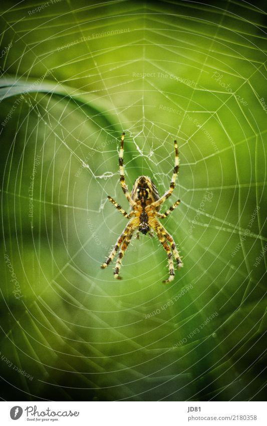 Itzibitzi Spider Natur Sommer grün Tier gelb Herbst Frühling natürlich Garten warten beobachten gruselig Ekel Spinne