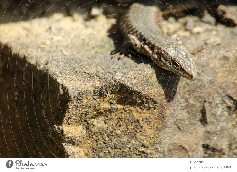 Ton in Ton | Eidechse Natur Sommer Tier schwarz Wärme gelb Stein grau braun Felsen Park Wildtier Schönes Wetter Geschwindigkeit beobachten Tierhaut
