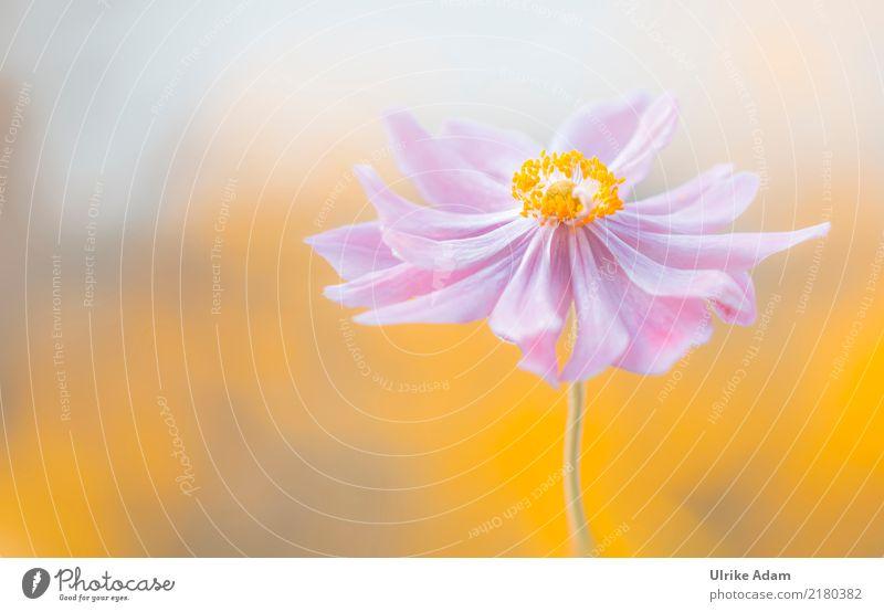 Herbst Anemone Natur Pflanze Sommer schön Blume Erholung ruhig gelb Blüte Garten rosa Zufriedenheit Park Dekoration & Verzierung elegant