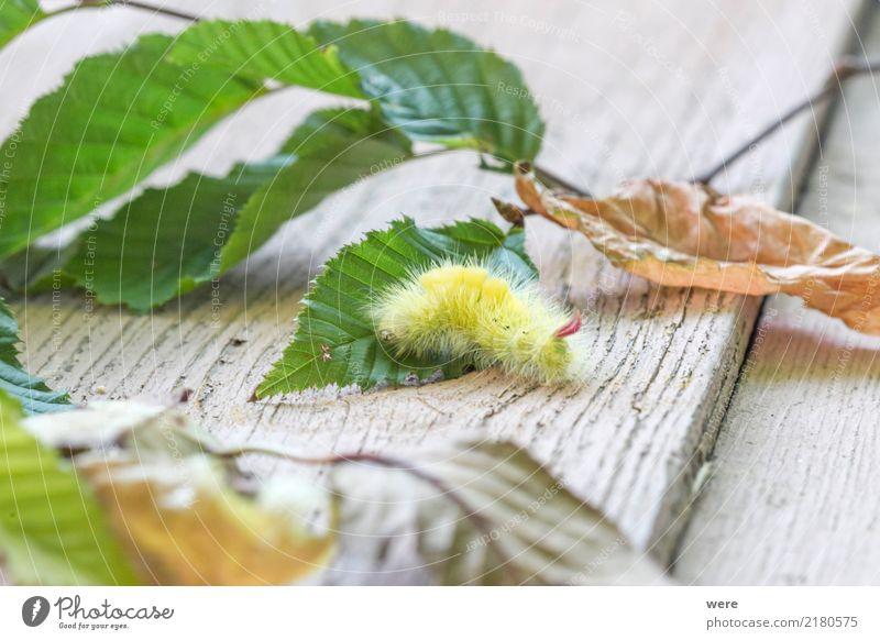 Buchen Streckfuß Raupe Natur Tier Schmetterling fantastisch bizarr Umweltschutz Biotop Buchen-Streckfuß Buchenrotschwanz Calliteara pudibunda Eulenfalter