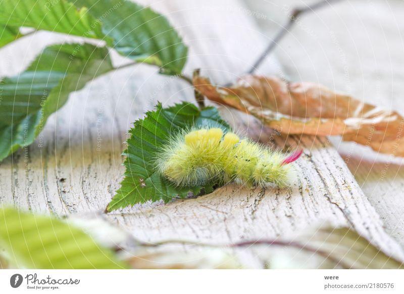 Minimonster Natur Tier Schmetterling fantastisch bizarr Umweltschutz Biotop Buchen-Streckfuß Buchenrotschwanz Calliteara pudibunda Eulenfalter Flora und Fauna