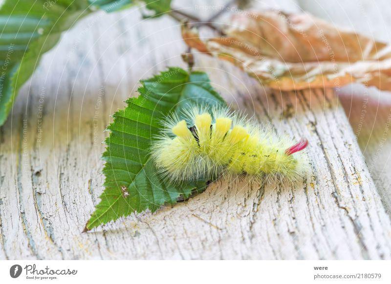 Gartenmonster Natur Tier Schmetterling fantastisch bizarr Umweltschutz Biotop Buchen-Streckfuß Buchenrotschwanz Calliteara pudibunda Eulenfalter Flora und Fauna