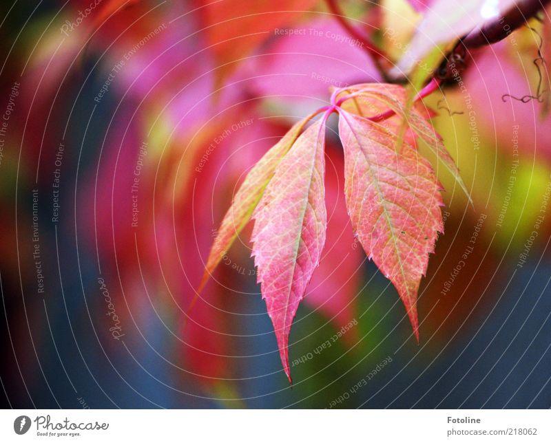 (Rot) Wein Natur Pflanze rot Blatt Herbst Umwelt hell natürlich Stengel Herbstlaub Ranke Blattadern herbstlich Zweige u. Äste Kletterpflanzen