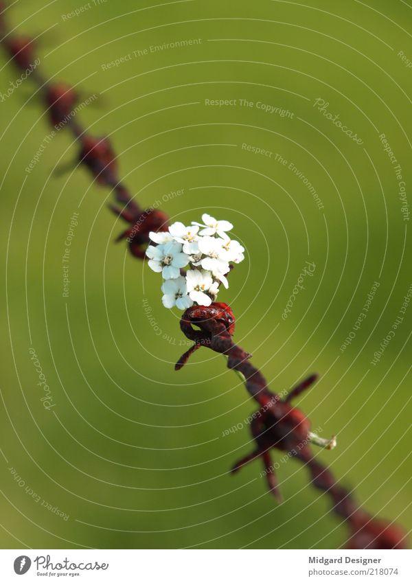 Blumenstrauß Natur Pflanze grün Freude Umwelt Blüte Wiese Romantik Frieden Rost Krieg Treue Wildpflanze Stacheldraht Versöhnung