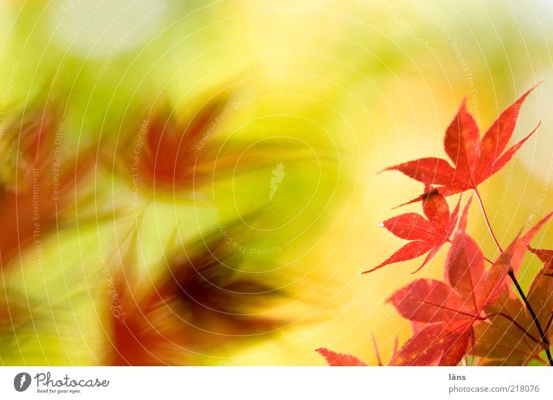 gegenüber Umwelt Natur Pflanze Herbst Blatt gelb rot Vergänglichkeit Wandel & Veränderung Japanischer Ahorn Farbfoto Menschenleer Textfreiraum oben