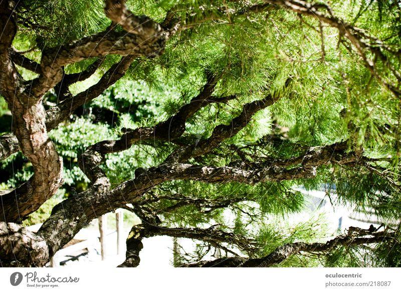 Bonsai in groß Sonnenlicht Sommer Pflanze Baum Asien Japan Kyoto Wachstum Stil Schatten grün Japanisch Japanischer Garten Farbfoto Außenaufnahme Menschenleer