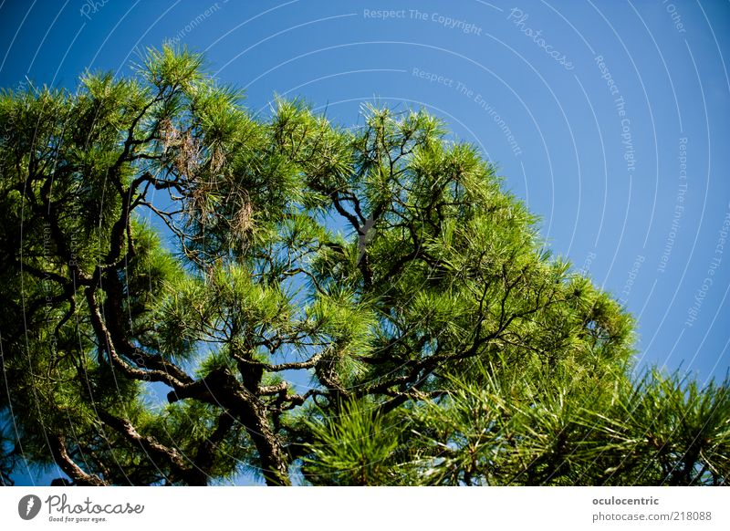 wachsen Natur Pflanze Himmel Wolkenloser Himmel Sommer Baum exotisch Park Asien Japan Kyoto Erholung Wachstum Blauer Himmel Japanischer Garten Vignettierung